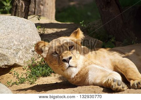 Lioness lying down - Southwest African lion