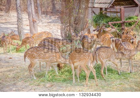 Spotted Deer Eating Grass. Chital.