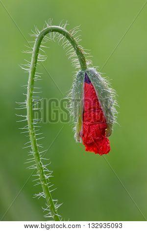 Poppy (papaver Rhoeas )