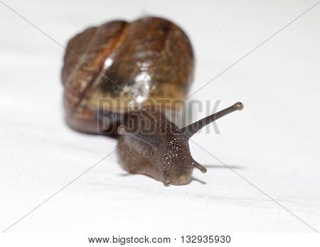shot of garden snail closeup on white background