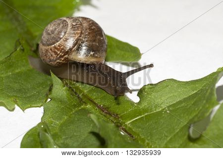 snail closeup on green leaf closeup shot