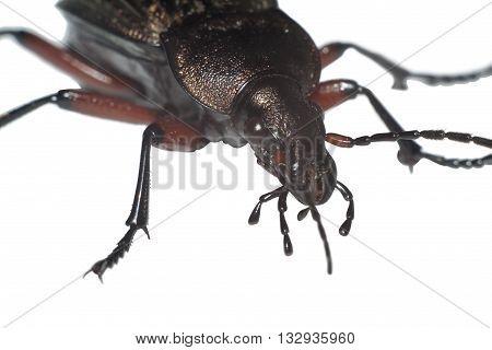 Ground beetle (Carabus granulatus) extreme closeup isolated on white background
