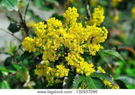 Flowering Mahonia aquifolium. Mahonia aquifolium is a species of flowering plant in the family Berberidaceae, native to western North America.
