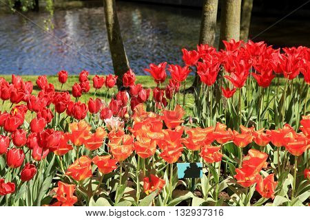 Ped tulips near beutiful pond in flower park Keukenhof, Holland, Netherlands. Selective focus