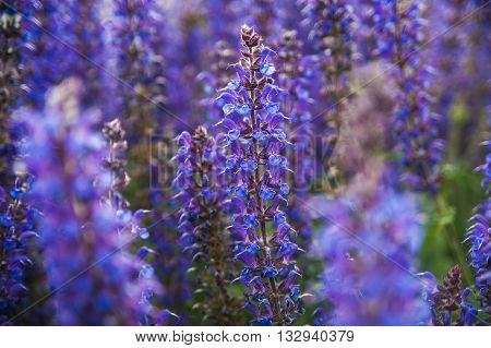 Lavender flowers in macro photography at sunset light