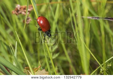 A red poplar leaf beetle on a grass-stock