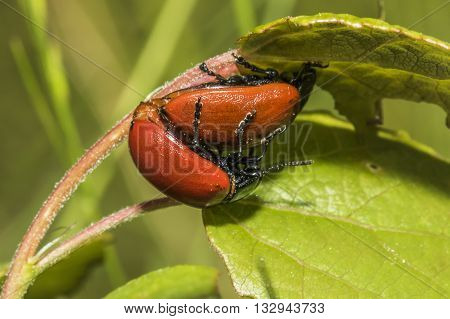 A couple of red poplar leaf beetles by the pairing