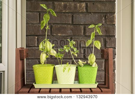 Herbs (basil and parsley) growing in pots outside a home in front of a brick wall.