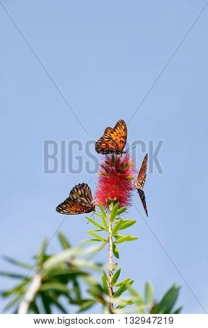Three gulf fritillary butterflies on the same red flower with a blue sky in the background.