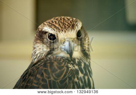 Saker falcon. Falco cherrug. Wild bird in the zoo.