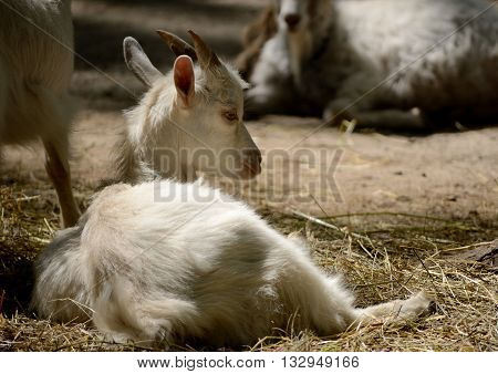 Cute young goat lying in the paddock. Farm animal