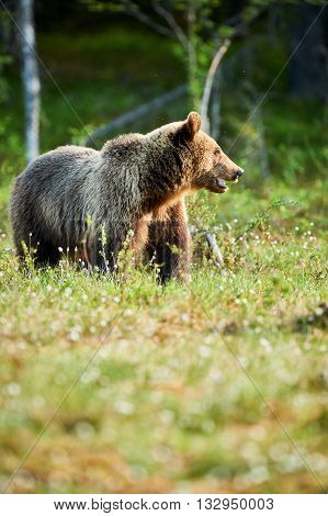 Bear in a forest in northern Europe in the spring