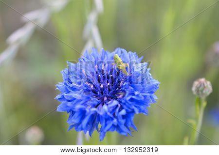 Purple Wildflower with Tiny Grasshopper Sitting on It