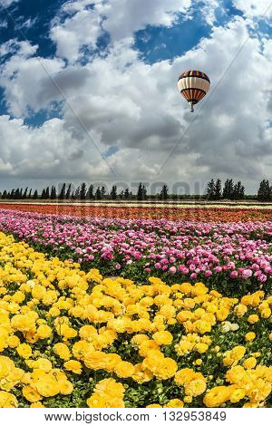 Spring flowering buttercups. Great multi-colored balloon flies over flower field. Flower kibbutz near Gaza Strip
