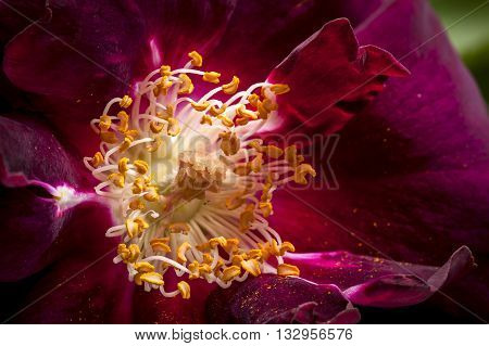 Close up view of a rose. A macro image of the stamen of a red rose.