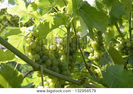 Green grapes ripening on the vine on a sunny summer day