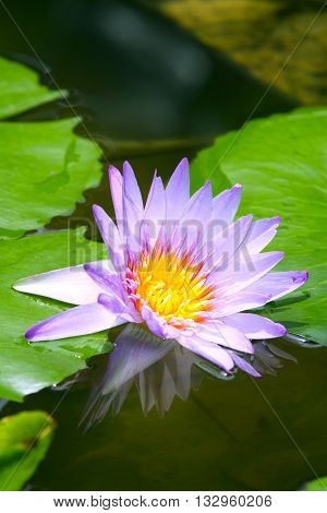 Purple lotus occur in the natural beauty ,Blue Water Lily in the lake