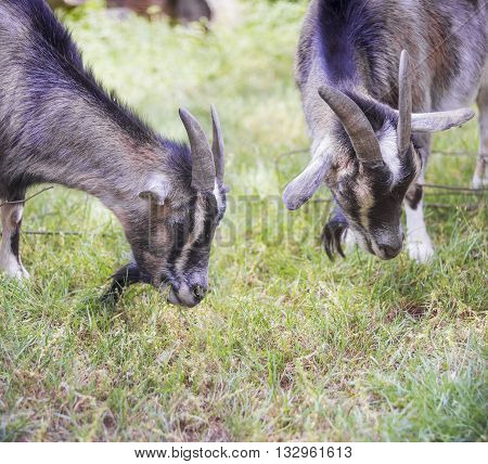 Two Cameroon dwarf goat graze in the meadow