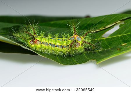 Close up stinging nettle slug caterpillar phocoderma velutina moth