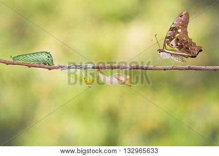 Tailed Jay Butterfly With Chrysalis And Caterpillar