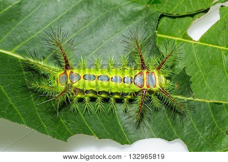 Stinging Nettle Slug Caterpillar , Phocoderma Velutina Moth