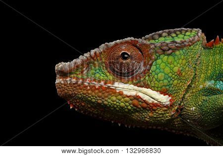 Closeup Head of Panther Chameleon, reptile in Profile view Isolated on Black Background