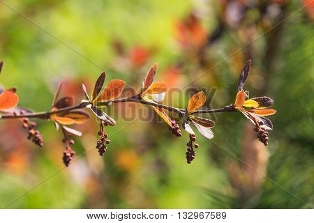 branch of barberry in the spring close up