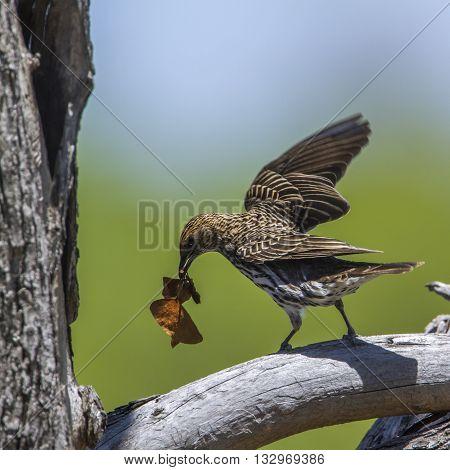 Specie Cinnyricinclus leucogaster family of Sturnidae, female violet backed starling nesting in Kruger Park