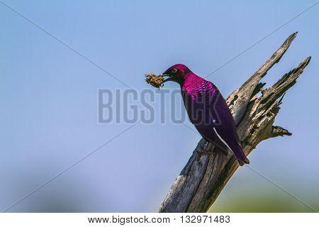 Specie Cinnyricinclus leucogaster family of Sturnidae, violet backed starling nesting in Kruger Park