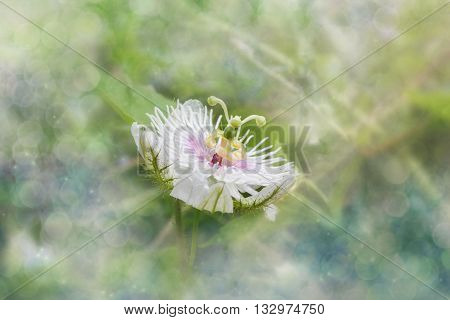 Romantic Nature Wild Grass Flower,passiflora  With Rain Drop In Dreamy Bokeh, Gentle White Petal Wit