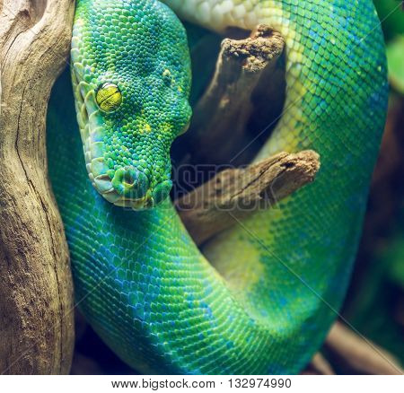 Photo of Green Snake on a Branch. Dangerous Exotic Shake Sitting on a Wooden Branch in Tropical Forest