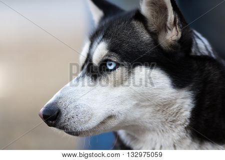 Photo of Fluffy Husky Dog Portrait. Syberian Husky Dog Portrait