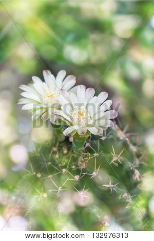 Cactus Flowers On Tree In Soft Mood Sweet Bokeh,mila Or Closeup Cactus Flower And Blank Space Area F
