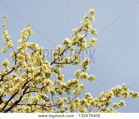 Nature background of beautiful cherry white flowers in spring