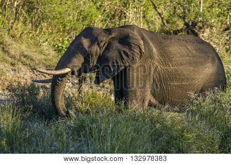 Specie Loxodonta africana family of Elephantidae, african bush elephant walking in savannah, Kruger park
