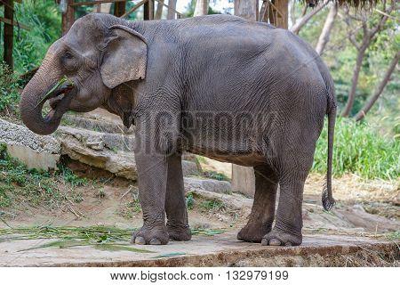 Thai elephant eating some grass into mounth