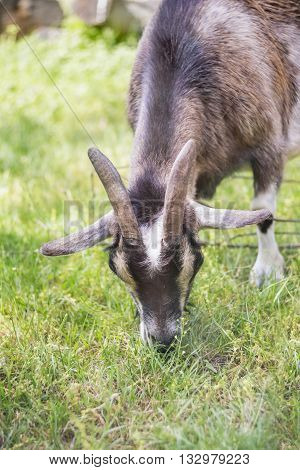 Cameroon dwarf goat graze in the meadow