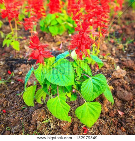 The Red Salvia or Salvia splendens background