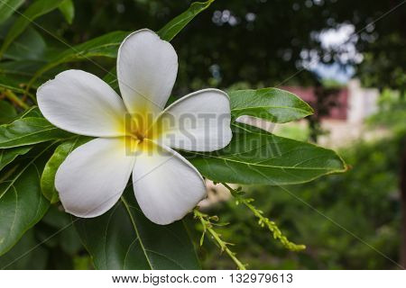 Blossom White And Yellow Flower Plumeria Or Frangipani Put On Green Leaf In Home Garden With  Happy