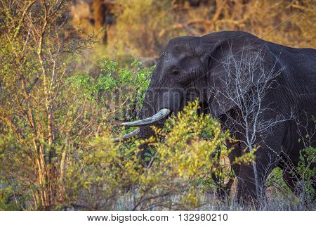 Specie Loxodonta africana family of Elephantidae, portrait of an african bush elephant in savannah, Kruger park