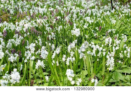 Flowerbed in spring with galanthus flowers field