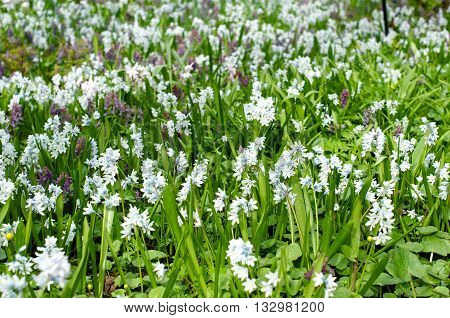 Flowerbed in spring with lot of galanthus flowers