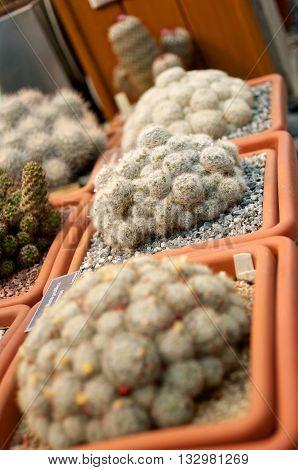 Three Pots Of Cacti
