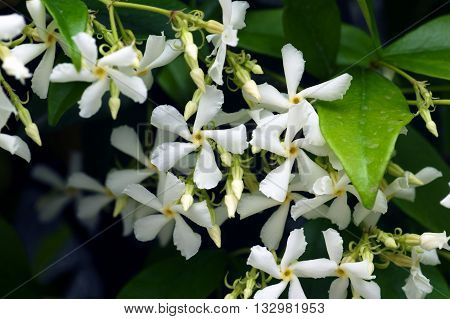 Five-white flowers of plants Trachelospermum jasminoides closeup