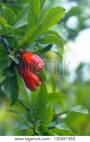 Red closed flower buds of pomegranate tree