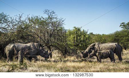 Specie Ceratotherium simum simum family of Rhinocerotidae, wild black rhinoceros standing in the bush in Kruger Park
