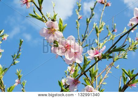 Pink peach flowers blossoming on a blue sky background