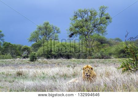 Specie Panthera leo family of felidae, wild male lion walking in savannah in Kruger Park