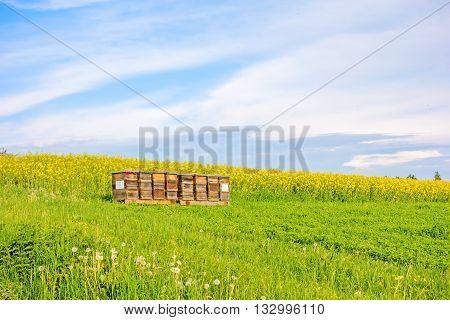 Apiary On Meadow - Canola Field
