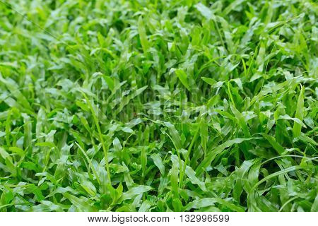 Green Grass Turf Garden In Morning